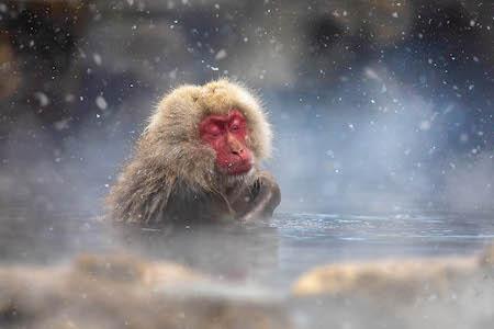 Snow Monkeys Hakuba