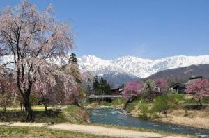 Hakuba Cherry Blossoms